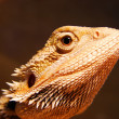 Bearded dragon — Stock Photo #4620837