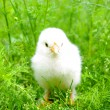 Little  chicken - Foto de Stock