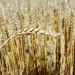 Grain for harvest — Stock Photo #4750337