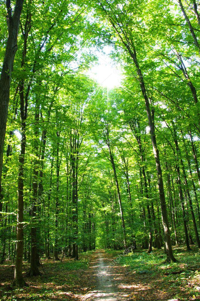 在春天的绿色森林的树木
