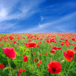 Red poppies — Stock Photo #4832797