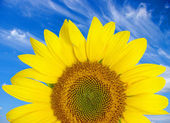 Bright sunflower — Stock Photo