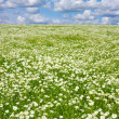 Field of camomiles - 