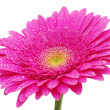 Gerbera flower — Stock Photo #4920595