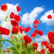 Red poppies — Stock Photo #4920691