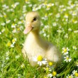 Stock Photo: Duck in the grass