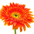 Orange gerbera flower — Stock Photo #4920829