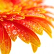 Orange gerbera flower — Stock Photo #4920832