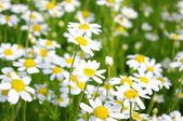 Bílý chamomiles白色 chamomiles — Stock fotografie