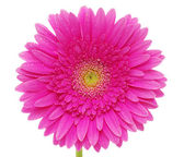 Beautiful gerbera — Stock Photo
