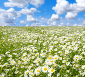 Field of camomiles — Stock Photo
