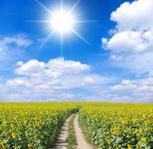 Sunflowers field — Stock Photo