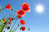 Poppies in sunny day — Stock Photo