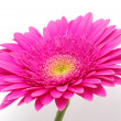 Gerbera flower — Stock Photo