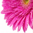 Gerbera flower — Stock Photo #5281868