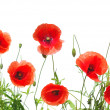 Red poppies — Stock Photo #5320776