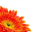 Orange gerbera — Stock Photo #5320881