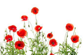 Amapolas rojas sobre fondo blanco — Foto de Stock