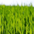 Green lawn — Stock Photo #5367059
