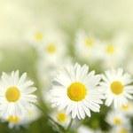 Beautiful white chamomiles — Stock Photo #5367114
