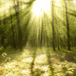Forest sunlight - Stock Photo
