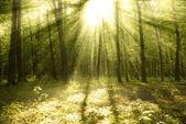 Luce solare foresta — Foto Stock