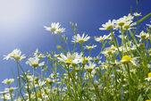 白色雏菊 — 图库照片