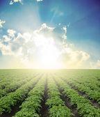 Pole ziemniaków — Zdjęcie stockowe
