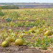 Stock Photo: Melon field
