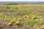 Melon field — Stockfoto