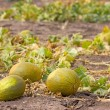 Melon field — Stock Photo #4374394