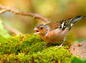 Bird - finch — Stock Photo