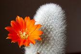 Fleur de cactus — Photo
