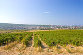 виноградники — Стоковое фото