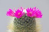 Cactus fiorito — Foto Stock