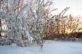雪和太阳的树木 — 图库照片