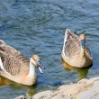 Two geese — Stock Photo #5027228