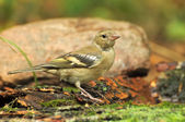 Bird finch — Stock Photo