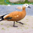 Photo: Ruddy Shelduck