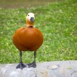 Ruddy Shelduck — Foto de stock #5203963