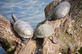 Turtles — Stock Photo