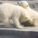 ijsberen — Stockfoto