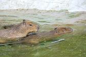 Capybaras and love — Stock Photo