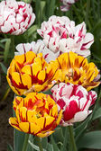 Tulipes — Photo