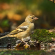 Stock Photo: Bird finch