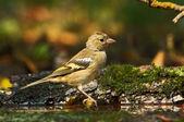 птица финч — Стоковое фото