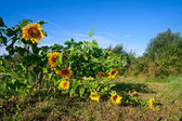 Summer landscape with sunflowers — Stockfoto