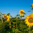 Stock Photo: Summer landscape with sunflowers