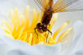 Dragonfly on a flower white lily — Stock Photo