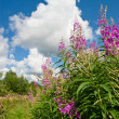 Stock Photo: Rosebay Willowherb